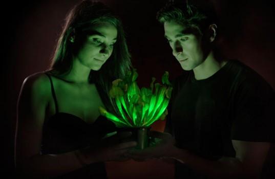 ABD'li bilim insanları, parlayan ve ışık saçan bir bitki oluşturmayı başardı.